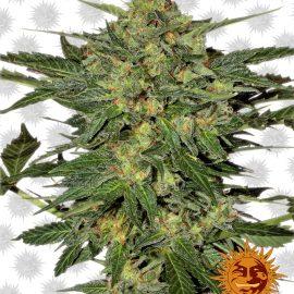 LSD cannabisfrø