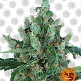 Laughing-Buddha cannabisfrø