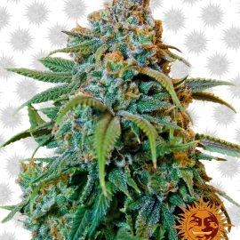 Liberty-Haze cannabisfrø