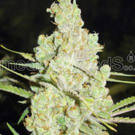 Medicinske cannabisfrø 1024