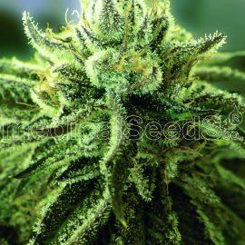 Medicinske cannabisfrø canadian kush