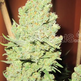 Medicinske cannabisfrø channel
