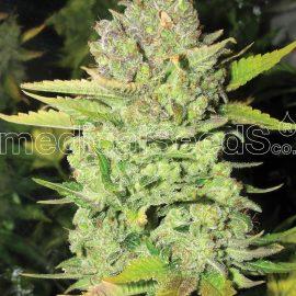 Medicinske cannabisfrø devil fruit