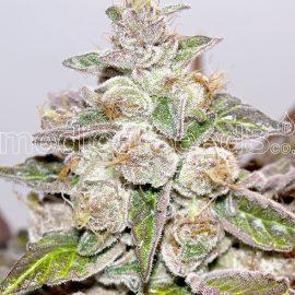 Medicinske cannabisfrø mendocino purple kush