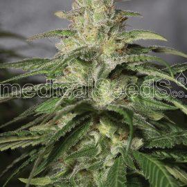 Medicinske cannabisfrø og kush cbd