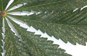 Mellus whiteflies cannabis