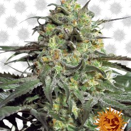 Peyote-Cookies cannabisfrø