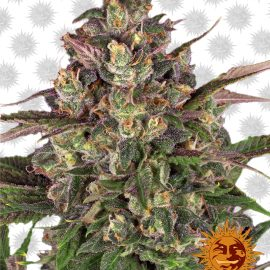 Peyote-Critical cannabisfrø