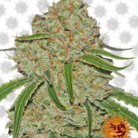 Phantom-OG cannabisfrø