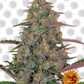 Pineapple-Chunk cannabisfrø