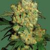 Sensi Seeds Cannabisfrø Big Bud Feminiserede