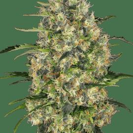 Sensi Seeds Cannabisfrø Black Domina Feminiserede
