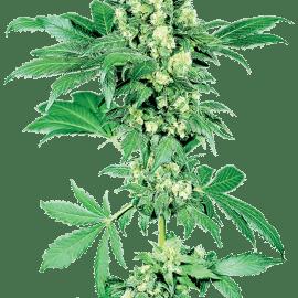 Sensi Seeds Cannabisfrø Afghan #1 feminiserede