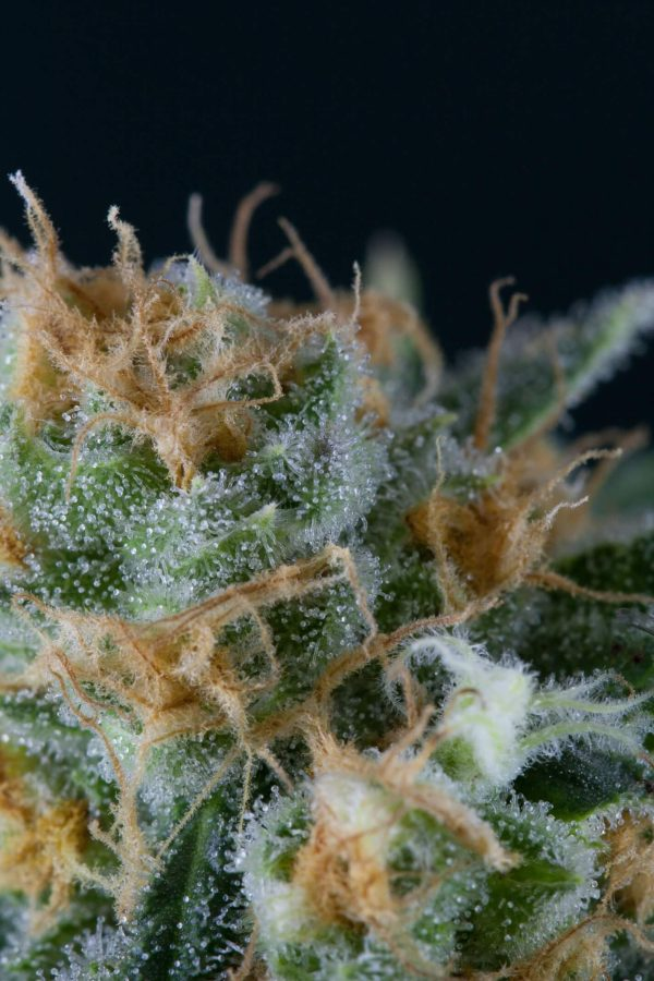 Skunkfrø Alchemy regulære cannabisfrø TGA Subcool
