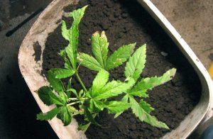 Snegle skade på cannabis
