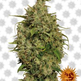 Sweet-Tooth cannabisfrø