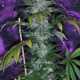 TGA_Subcool_Seeds_-_Deep_Purple
