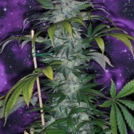 TGA_Subcool_Seeds_-_Deep_Purple