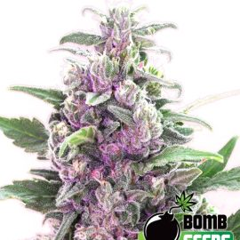 THC-Bomb THC cannabisfrø