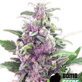 THC-Bomb-Auto autoblomstrende cannabisfrø