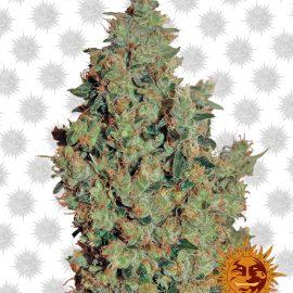 Tangerine-Dream cannabisfrø