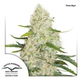 Think-Big-Dutch-Passion cannabisfrø