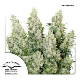 Think-Different-Dutch-Passion- cannabisfrø