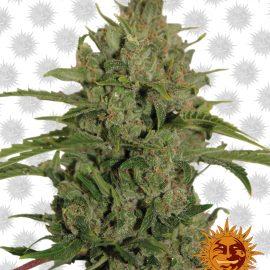 Triple-Cheese cannabisfrø