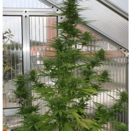 Udendørs Regulær Cannabisfrø Passion #1 Dutch Passion 1