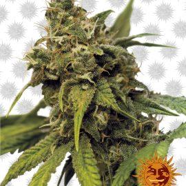 Utopia-Haze cannabisfrø
