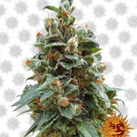 Vanilla-Kush cannabisfrø