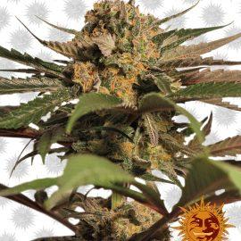Violator-Kush cannabisfrø