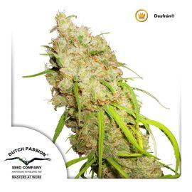 cannabisfrø-Desfran-Dutch-Passion