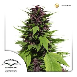 cannabisfrø-guerilla-Frisian-Duck