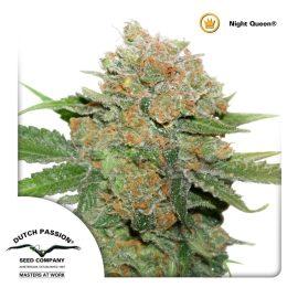 medicinsk-cannabisfrø-Night-Queen