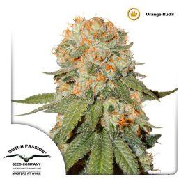 cannabisfrø-Orange-Bud-Dutch-Passion