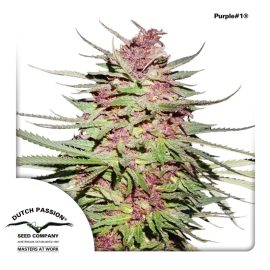 cannabisfrø-Purple1-Dutch-Passion