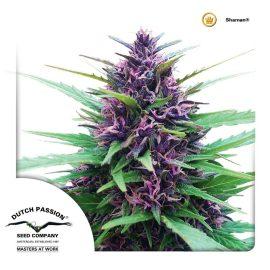 Udendørs Regulær Cannabisfrø Shaman Dutch Passion