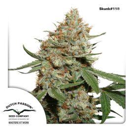 cannabisfrø-Skunk11-Dutch-Passion