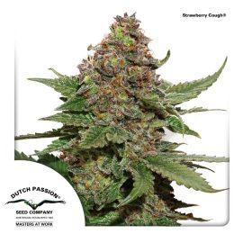 cannabisfrø-Strawberry-Cough