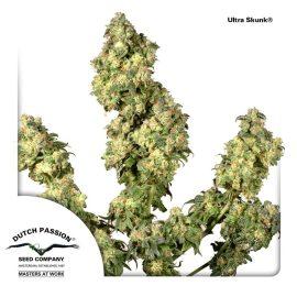 cannabisfrø-Ultra-Skunk-Dutch-Passion