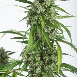 cannabisfrø-dinafem-white-widow-xxl-auto