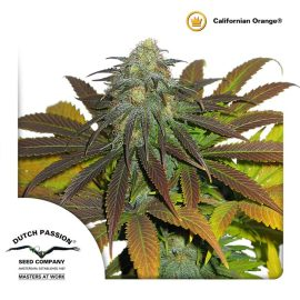 cannabisfrø-Californian-Orange-Dutch-Passion