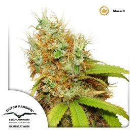 cannabisfrø-Mazar-Dutch-Passion