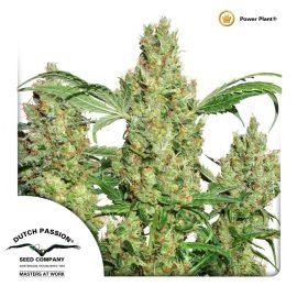 cannabisfrø-Power-Plant-Dutch-Passion