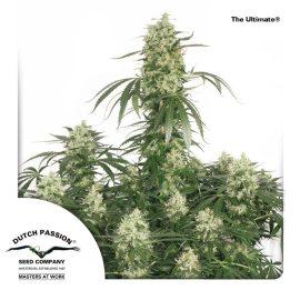 cannabisfrø-The-Ultimate-Dutch-Passion