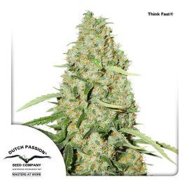 cannabisfrø-Think-Fast-Dutch-Passion