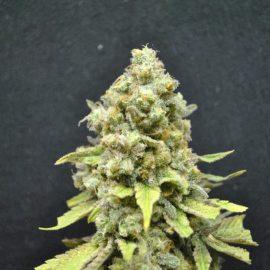 CBD Critical Mass cannabisfrø