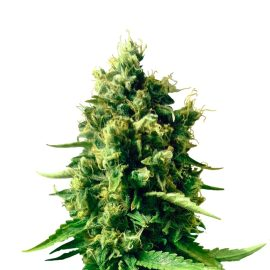 cbd-nordle CBD cannabisfrø