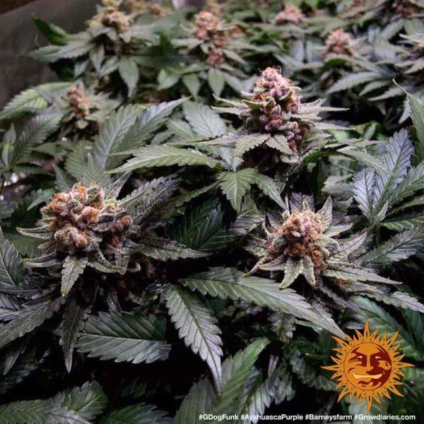 large_ayahuasca-purple_5_645143